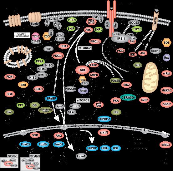 insulin-receptor